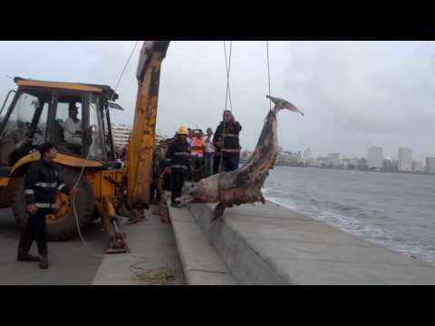 biggest dolphin dead at marine line on 16/07/2016