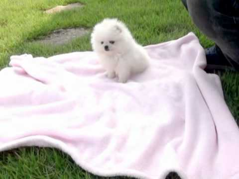 World 39 s cutest tiny teacup white pomeranian puppy for sale for Tiny puppies that stay tiny for sale