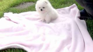 World's Cutest Tiny Teacup White Pomeranian Puppy For Sale.