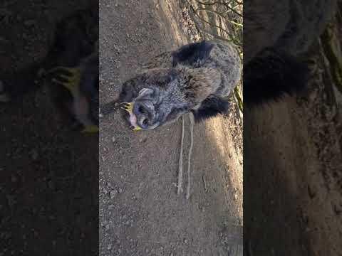 Wild Boar Eating Raw Eggs