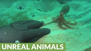 Tiny cute octopus plays with scuba diver