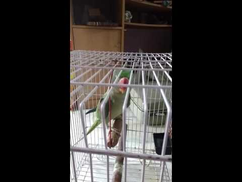Talking parrot in hindi