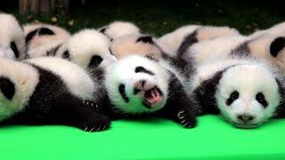 Bumper crop of giant panda cubs at research base