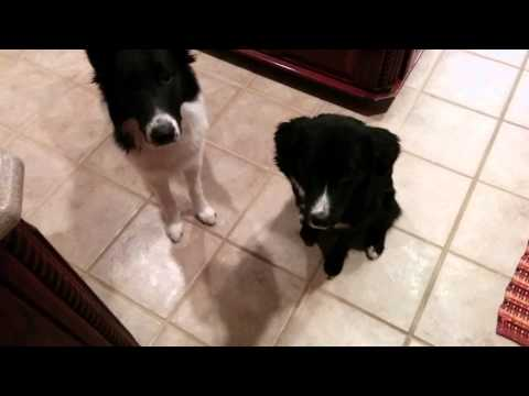 Sparky, Roo, and Dillon - Border Collies Eating Dinner