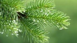 свойства хвойных растений