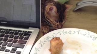 Bengal Cat Tries to Steal My Chicken