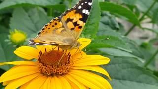 Бабочка собирает нектар с цветка