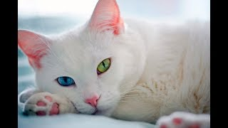 Гетерохромия. Разноглазые кошки – дурной знак или подарок судьбы. Удивительные факты