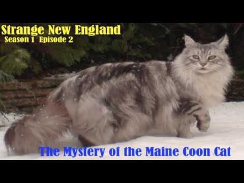 Strange New England - The Mysterious Origins of the Maine Coon Cat