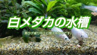 白メダカの水槽【30CUBE水槽2】20180308