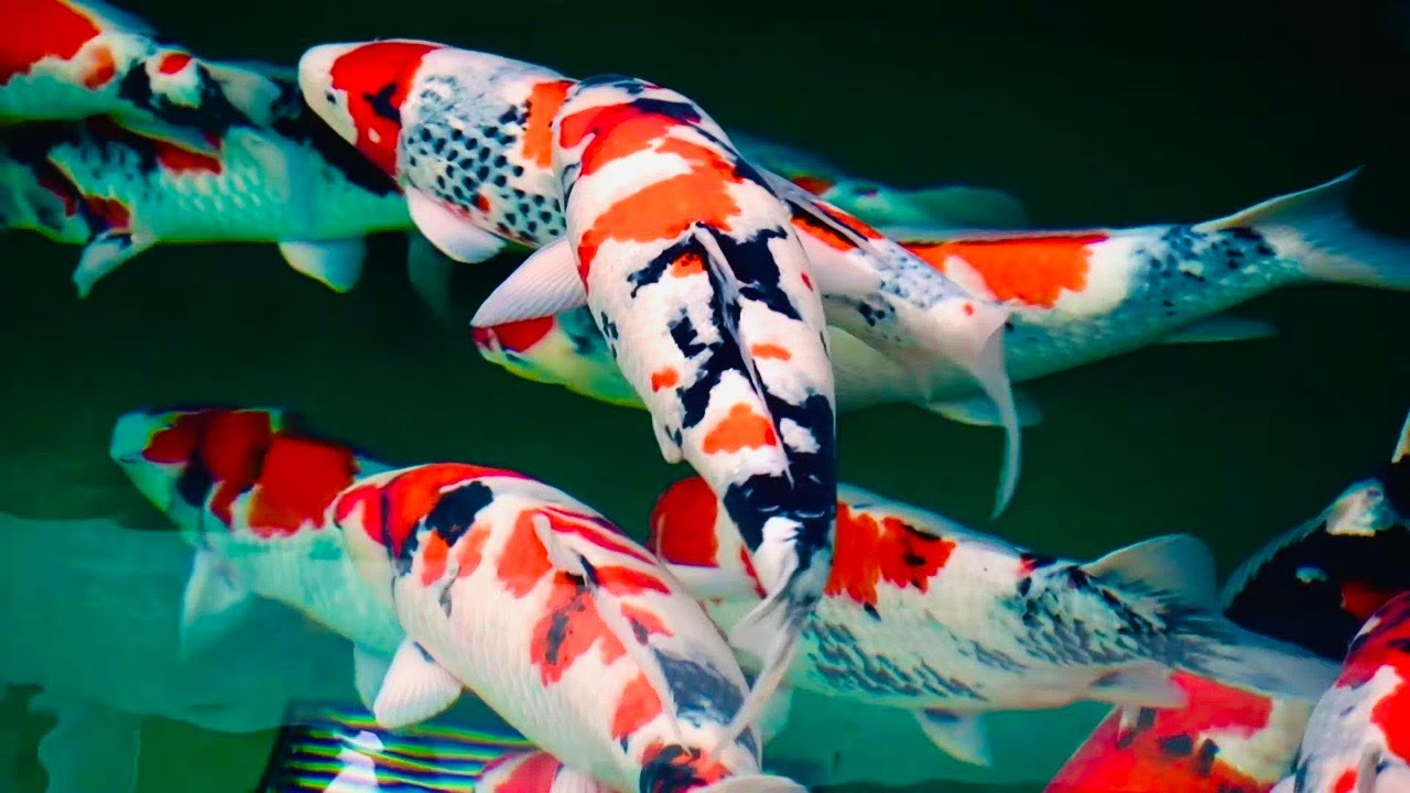 These Koi Fish Are Beautiful First Koi Farm Visit In 2020 Youtube
