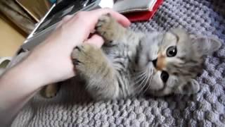 Шотландские котята купить питомник Казань. Scottish straight for sale