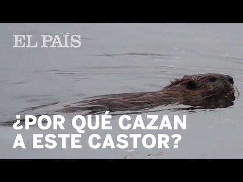 TIERRA DEL FUEGO: Argentina quiere erradicar al castor | Internacional