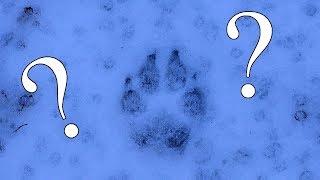 Wolf tracks?