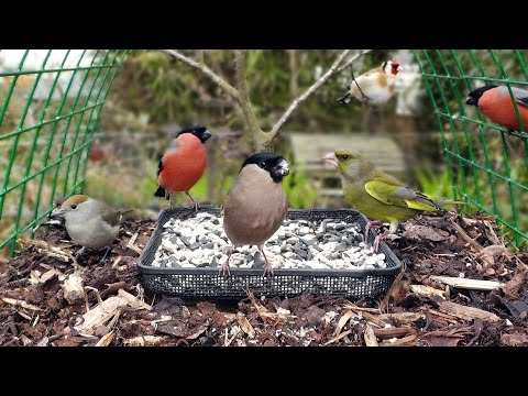 7 Minutes on The Bird Table - Bullfinch, Greenfinch, Blackcap, Goldfinch, Dunnock, Blue Tit