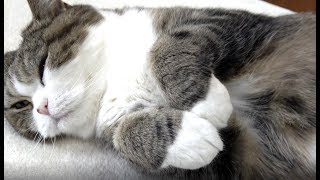 お手手を触るのはNGなねこ。-It is ban to touch Maru's forefoot.- thumbnail