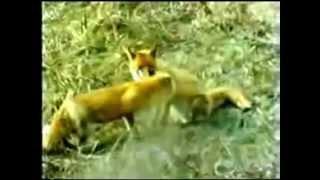 The Glacier Fox 1978