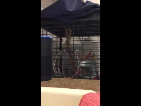 African grey parrot talking to Amazon Alexa