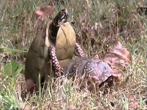 Turtle Orgasm