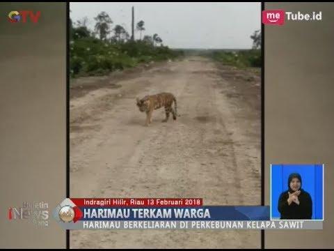 Teror Harimau Sumatera di Perkebunan Kelapa Sawit Riau yang Terkam Warga - BIS 13/01