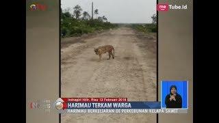Video Teror Harimau Sumatera di Perkebunan Kelapa Sawit Riau yang Terkam Warga - BIS 13/01 download MP3, 3GP, MP4, WEBM, AVI, FLV September 2018
