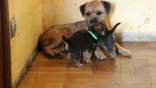 Щенки Бордер Терьера в Москве. Border Terrier Puppies In Moscow