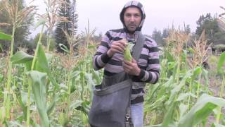 Learn Sweet Corn Growing And Harvesting Tips From Seeds of Change