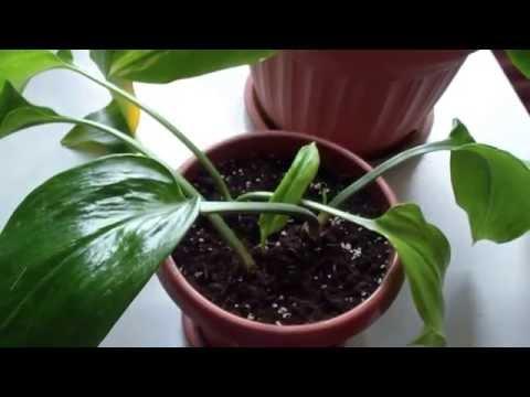 Правильный уход за Эухарисом и Какие Проблемы встречаются при выращивании