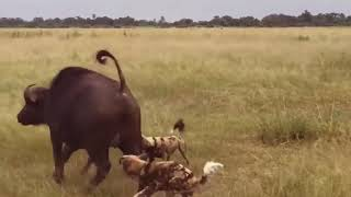 ATACK OF WILD DOGS VS ANIMALS