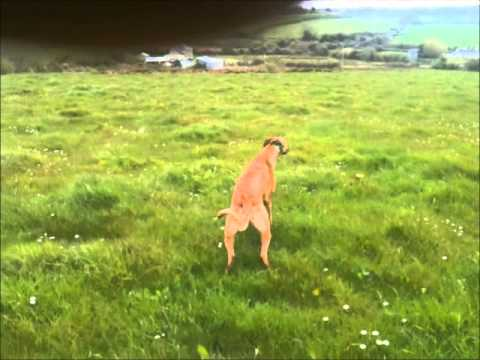 Greyhound Dogs for Sale