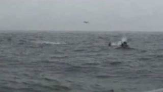 Orcas hunting dolphins final