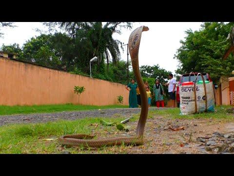 देखिए गुस्सैल नाग को देखते ही न्यायाधीश ने क्या किया।Very angry spectacled cobra | Judge residence.
