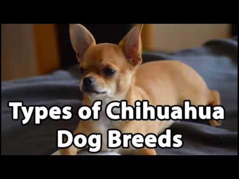 Types Of Chihuahua Breeds