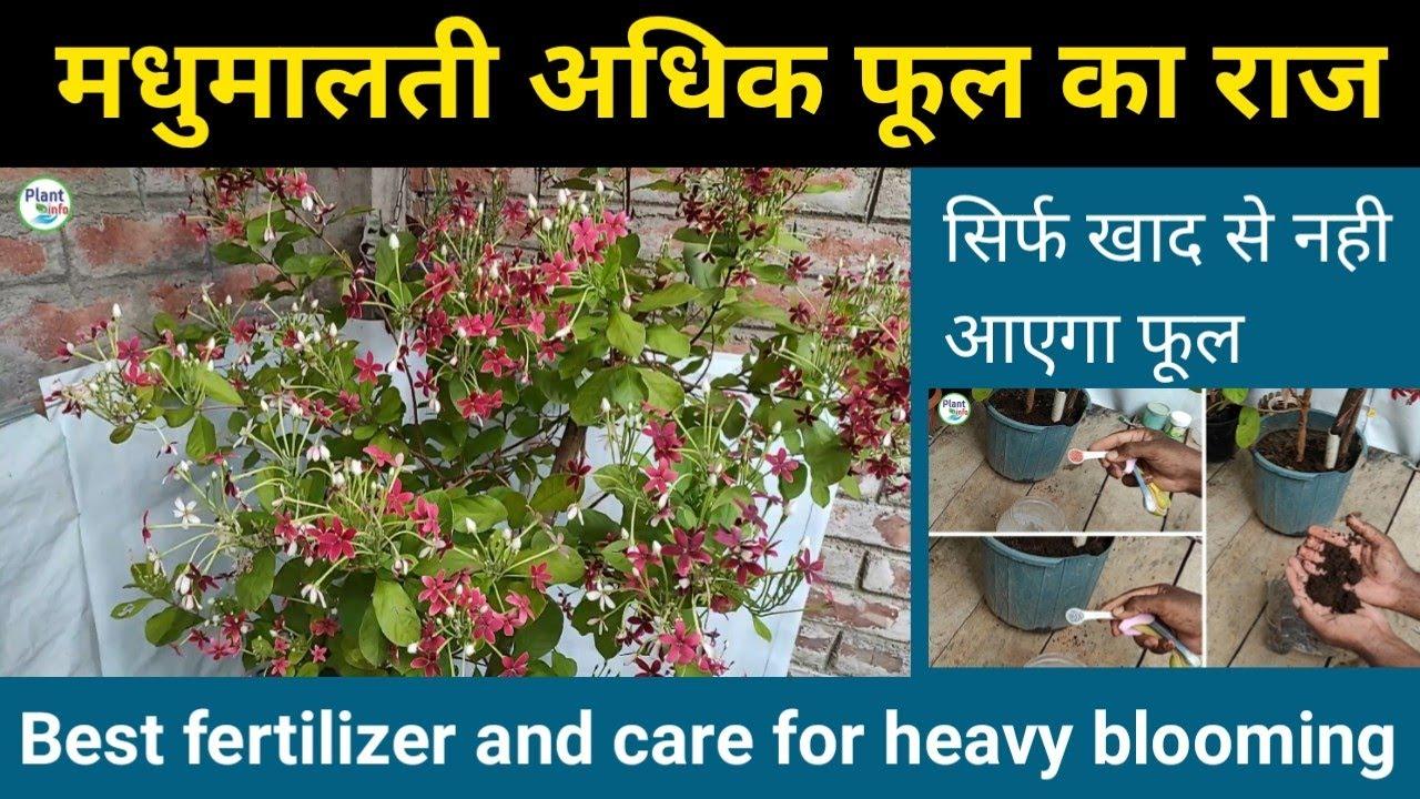 मधुमालती अधिक फूल का राज ,सिर्फ खाद नही  Rangoon creeper ,Best fertilizer & care for heavy blooming