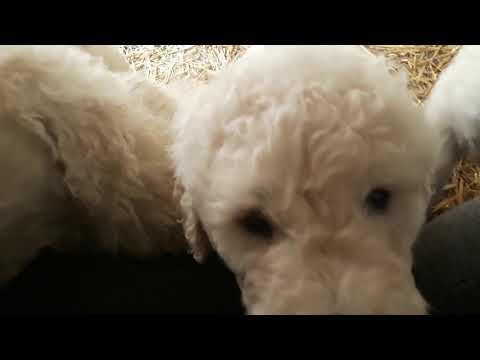 Komondor puppies attack