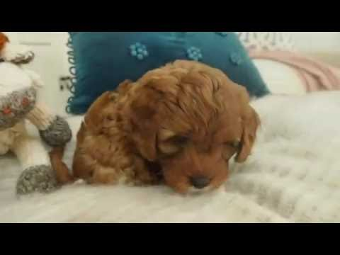 Pocket Puppies - Izzy's Toy Cavoodle Boy 7625