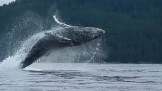 Watch Humpback Whale Jump Out of Water Nearly Landing On Kayakers