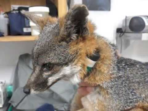 Catalina Conservancy and Frieds Of The Island Fox