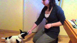 Jack Russel Terier Puppy Training :)