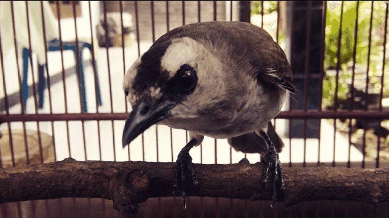 Download 64 Foto Gambar Burung Trucukan  Paling Unik