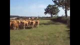 convoyage de bétail à cheval