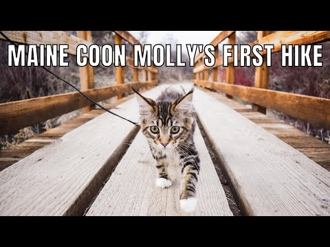 Maine Coon Kitten Molly's First Hike (18 Weeks)