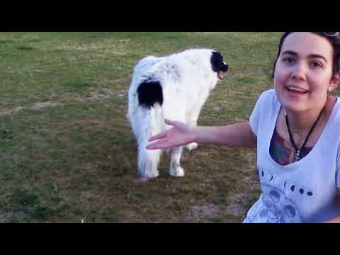 Interview with a Dog : Tara and Baxter (the Great Pyrenees Newfoundland mix)