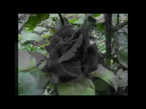 الورود السوداء النادرة التي تنمو فقط في قرية هالفيتي التركية Youtube