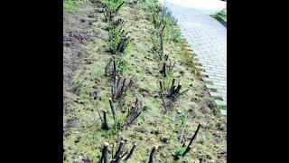 видео Кустарники и растения для живой изгороди: вьющиеся, лиственные и хвойные