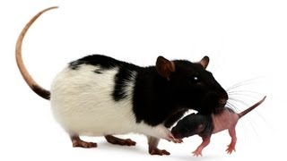 How to Take Care of a Baby Rat | Pet Rats