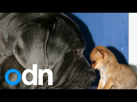 Tiny abandoned puppy becomes best friends with dog 120 times his size