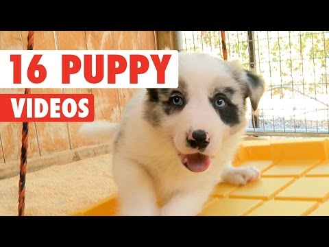 16 Funny Puppies Pet Video Compilation 2016