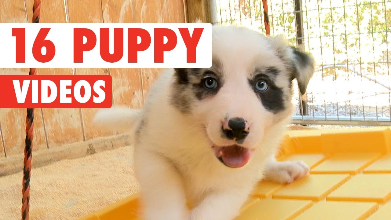 16 Funny Puppies Pet Video Compilation 2016 Youtube