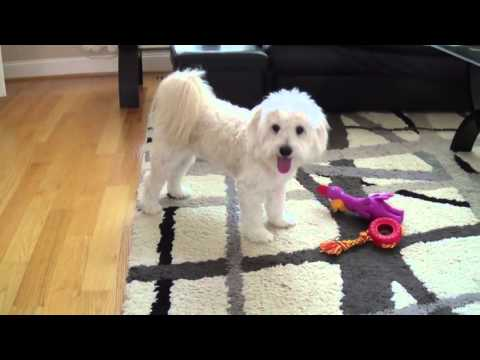 captain-the-maltipoo-turns-one---puppy-party!